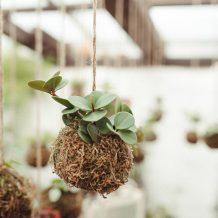 Peperomia orba variegata